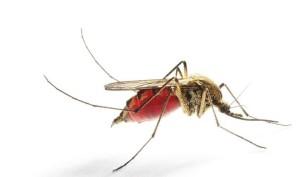 napitý komár-samice