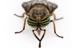 bzikavka hmyz co štípe