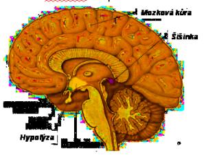 šišinka mozku