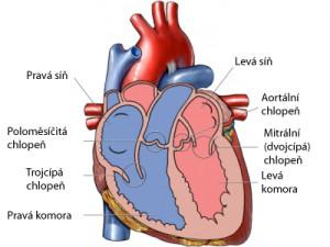 lidské srdce při popisu bronchiektázie